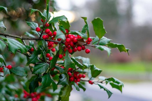 A Green Holly Leaf With Red Berries on a Bush Outside