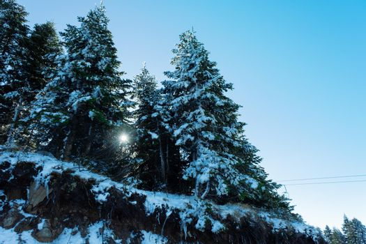It depicts spruce trees and sun light flare in between trees around Christmas time in Winter