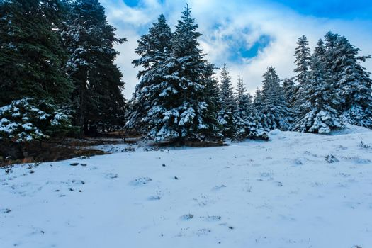 It depicts spruce trees and snow in the mountain area before new year time
