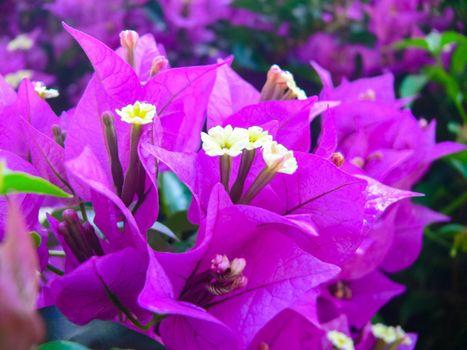 Flowers on Easter Island. Beautiful flowers on the island.
