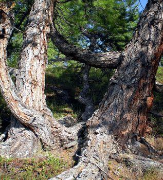 The thick trunk of Siberian cedar. Coniferous tree.