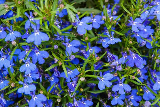 Blue Trailing Lobelia flowers or edging Lobelia, Alpine herbs of Switzerland . Its Latin name is Lobelia Erinus Sapphire