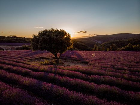 Lavender fields in Ardeche in southeast France
