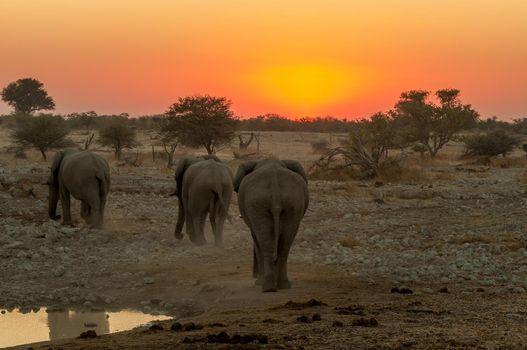 African elephants with sunset backdrop at the Okaukeujo waterhole
