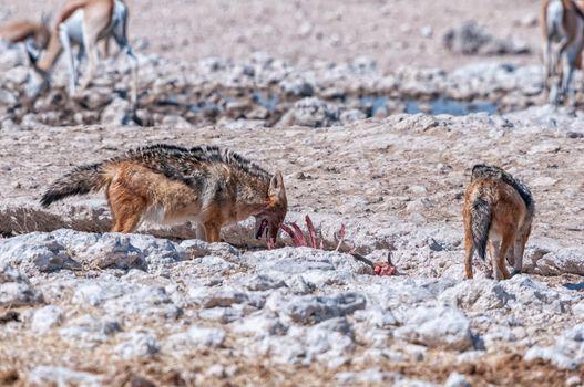 Black-backed jackal feasting on a carcass