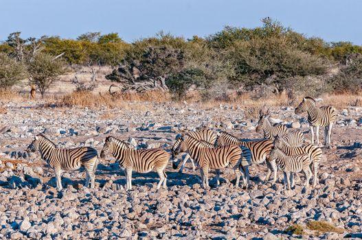 Burchells zebras between rocks