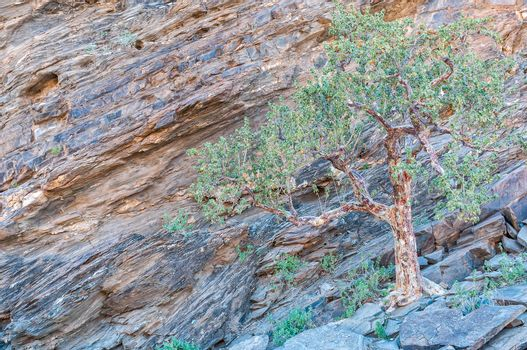 Tree on a rocky slope in the Kuiseb Canyon