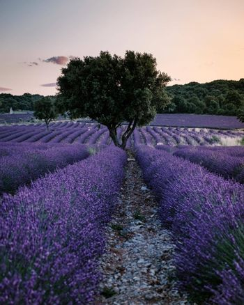 Ardeche lavender fields in the south of France during sunset, Lavender fields in Ardeche in southeast France.Europe