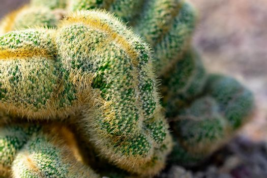Macro shot of a green cacti or cactus and its thorns or spines in a flower garden in Singapore