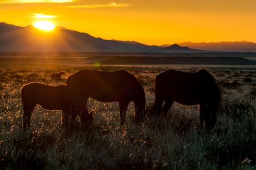 Silhouette of wild horses of the Namib grazing