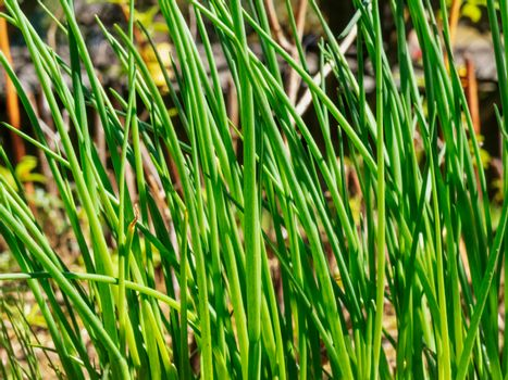Herbs -chives