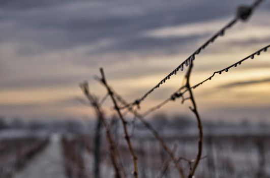 Grape vine on a cold winter day