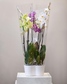 Colorful Phalaenopsist moth orchid
