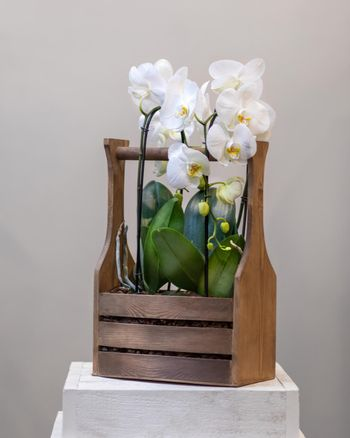 White Phalaenopsist moth orchid in the wooden basket