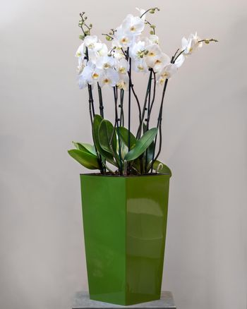 White Phalaenopsist moth orchid in the green pot