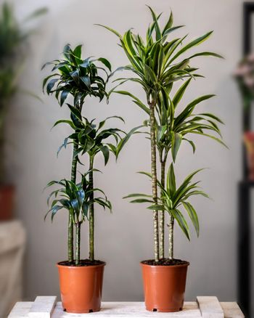 Dracaena fragrans plant, Dracaena fragrans Janet Craig in the pot