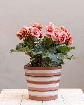 Pink Elatior Begonia flower in the pot