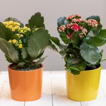 Colorful Widow's-thrill, Kalanchoe flowers