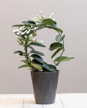 White Stephanotis floribunda flower plant
