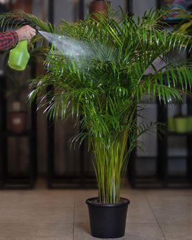 Areca palm houseplant - watering