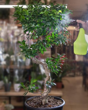 Chinese sweet plum Bonsai, Sageretia theezans - watering