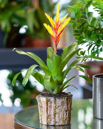 Red Bromeliad flower plant in the wooden pot