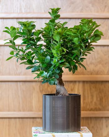 Bonsai fig tree in the black pot with wooden background