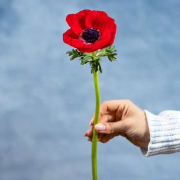 Woman holding red Papaver rhoeas, Common poppy flower