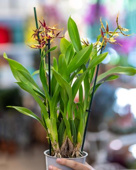 Paphiopedilum, Venus slipper orchid close up
