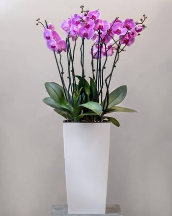 Purple Moth orchids, Phalaenopsis in the white pot