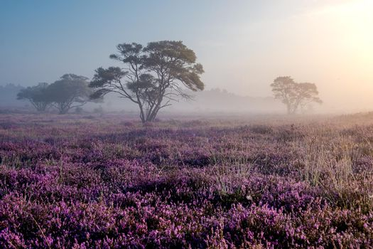 Blooming heather in the Netherlands,Sunny foggy Sunrise over the pink purple hills at Westerheid park Netherlands, blooming Heather fields in the Netherlands during Sunrise . Holland Europe