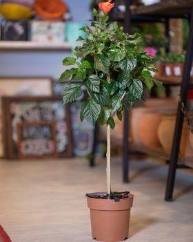 Ficus Moclame - Indian Laurel at the garden shop