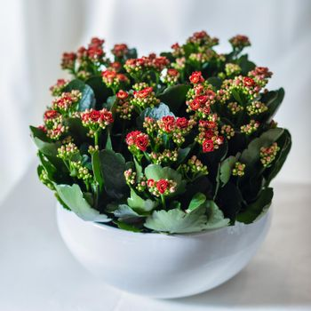 Colorful Lantana camara flower plant in the white pot