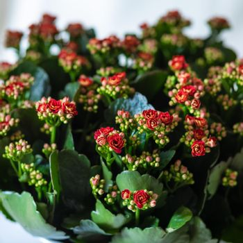 Colorful Lantana camara flower plant close up