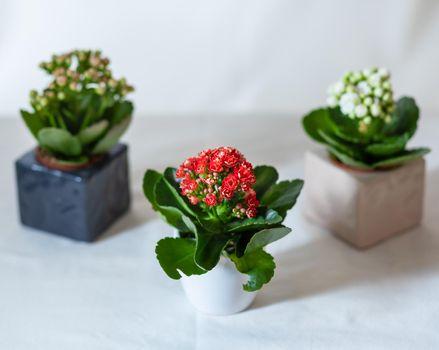 Small Colorful Lantana camara flower plant close up