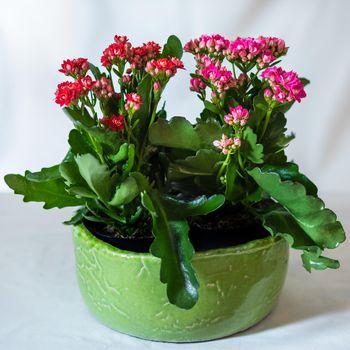 Colorful Lantana camara flower plant in the green pot
