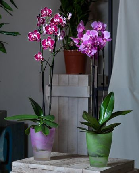 Purple moth orchid flower, phalaenopsis plant