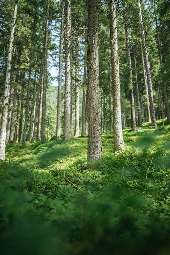 Impressive spruce trees in the forest: Relaxation, spirituality and wood therapy