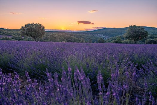 Ardeche lavender fields in the south of France during sunset, Lavender fields in Ardeche in southeast France