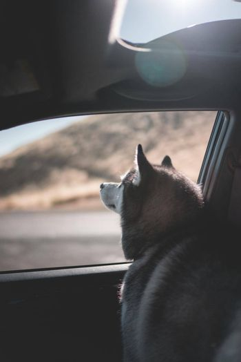 A husky dog getting some fresh air out of a car window on a road trip.