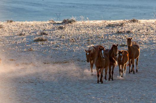 Wild horses of the Namib walking at sunrise