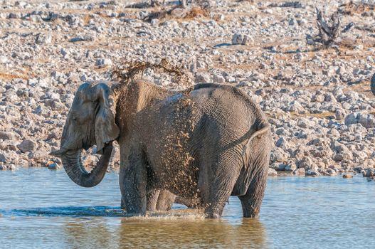 Elephant taking a mud bath in a waterhole