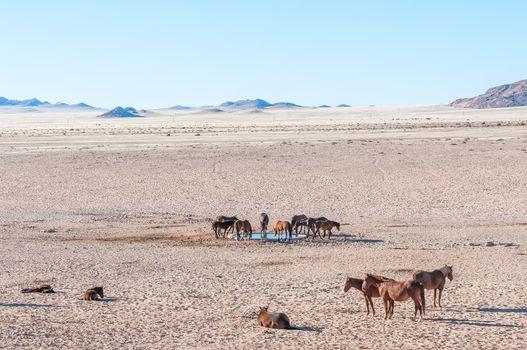 Wild horses of the Namib at the waterhole at Garub