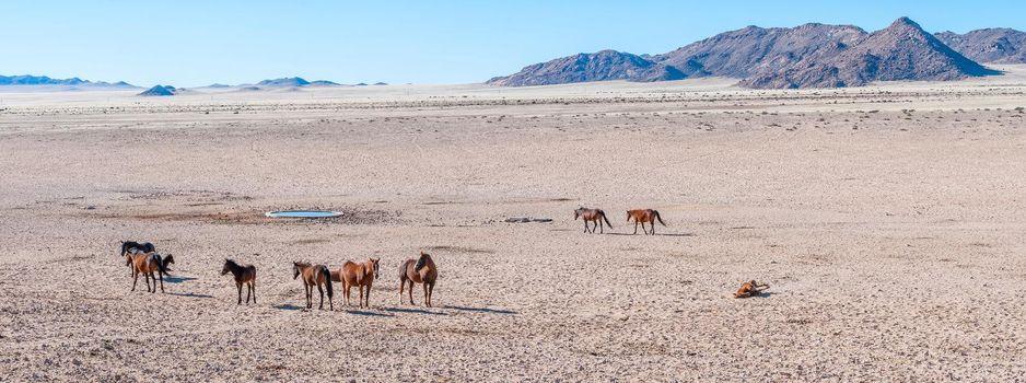 Panoramic view of wild horses of the Namib at Garub