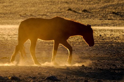 Silhouette of a wild horse of the Namib walking