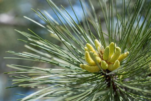 Flowering pine in the spring, close-up of inflorescence.