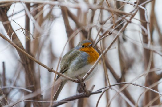 A bird on branches without leaves. The robin sits on the branches of the bush. The bird hides in the bushes.