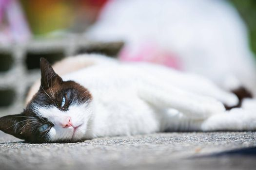 siamese ragdoll crossbreed cat resting in the sun on a terrace in summer