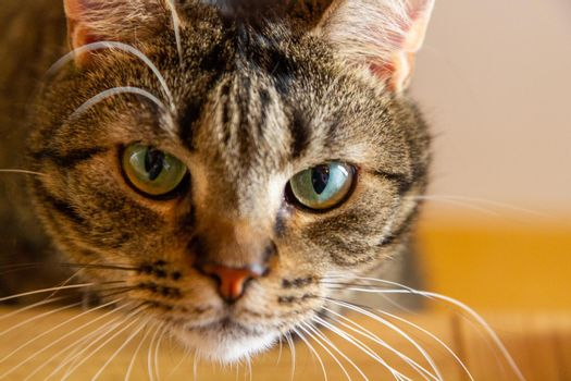 Domestic cat stare at you