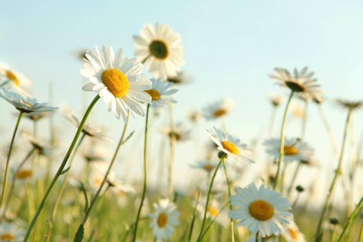Daisies in the meadow in the morning.